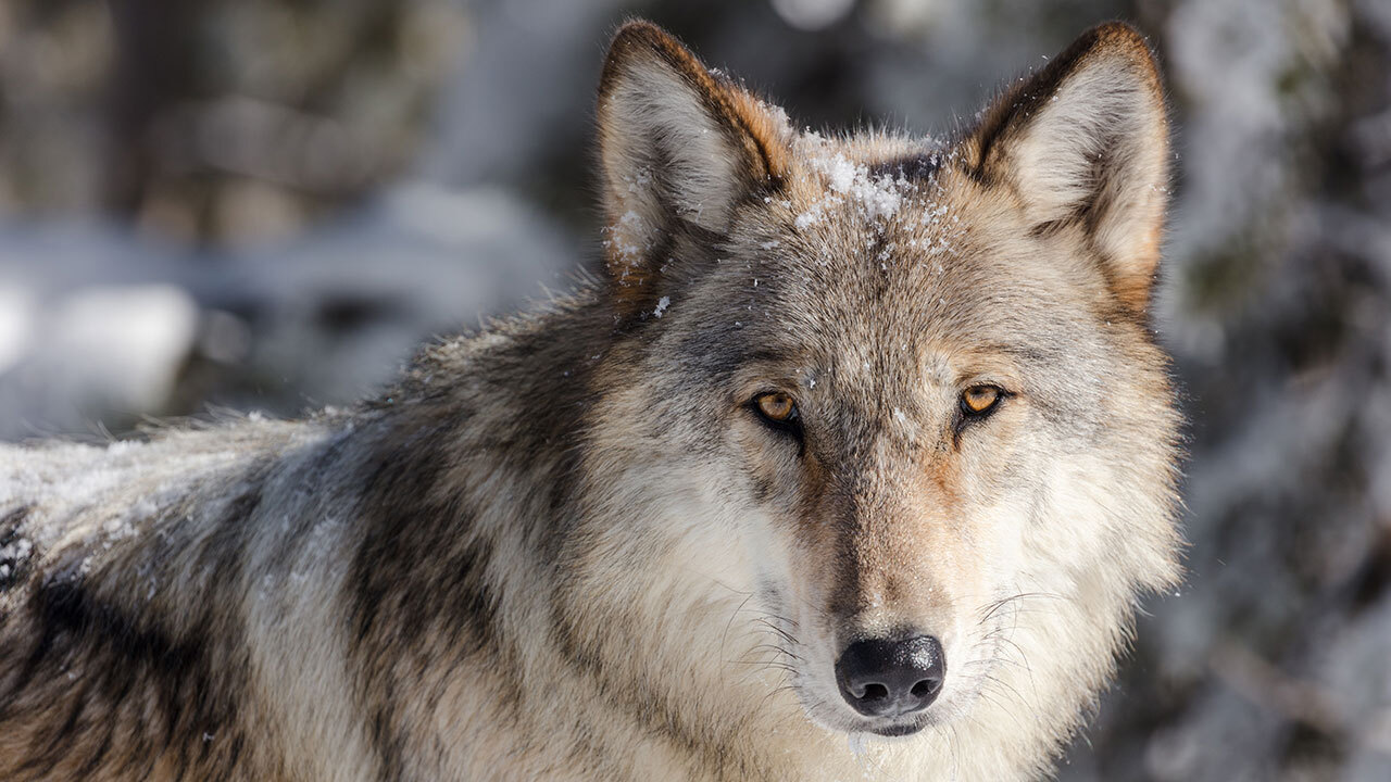Close up of wolf's face.It has grey fur and yellow eyes.